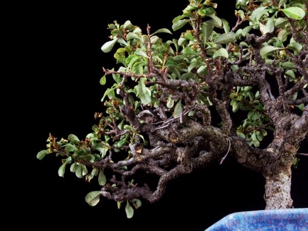[雨竹亭] 树齢约45年 长寿梅 #0019 中品盆栽/花物/秀峰/枝打/一号性